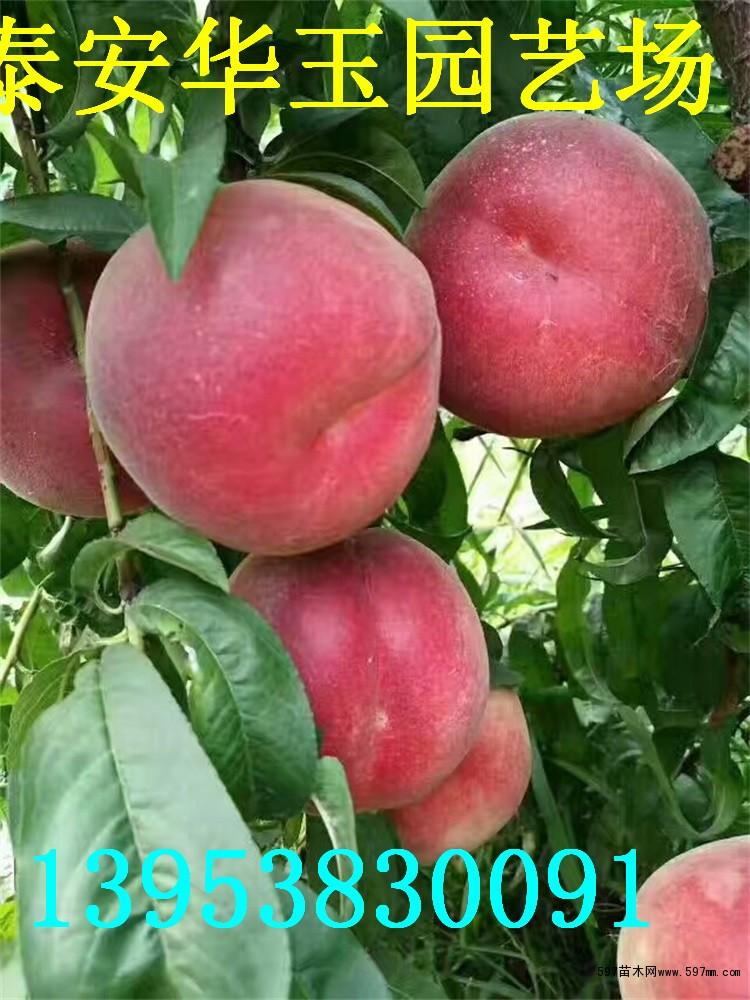 嫁接桃苗多少钱一棵 桃树苗批发  中华寿桃苗价格