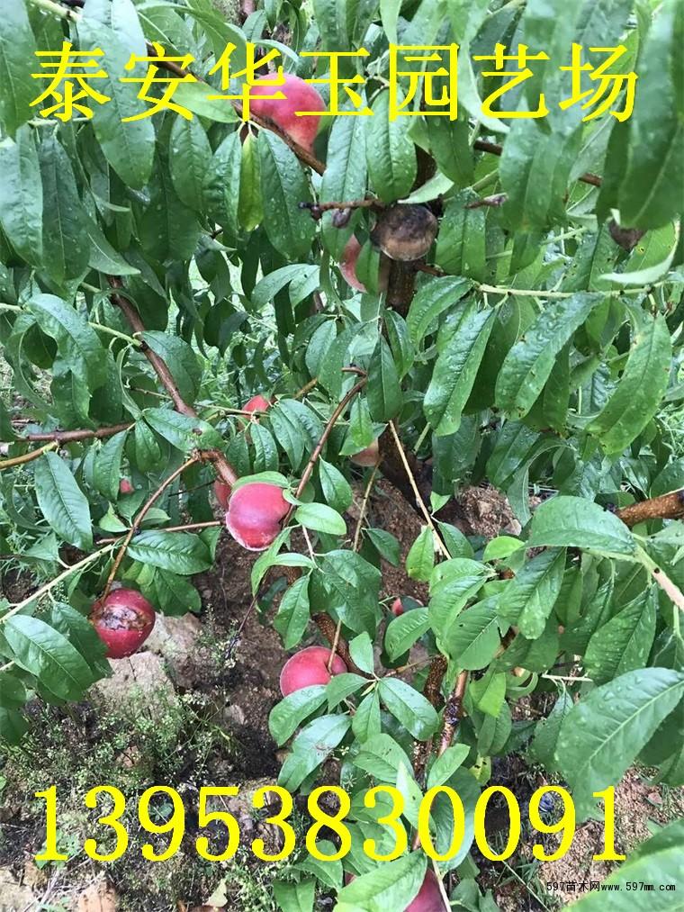 金秋红蜜桃价格  晚熟桃树苗哪里有