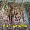 凯特杏树苗什么时候种植好 基地热线:18661309888