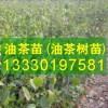 營養杯油茶苗,油茶杯苗價格,一二年生苗