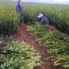 優質茶子樹苗多少錢一棵,江西湖南高產油茶苗基地在哪里