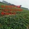 供应红颜草莓苗、章姬、甜查理