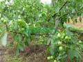 核桃树产量