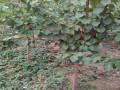 哪里杏树苗成活率高