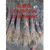 1米高花椒苗哪里有賣的 0.5公分花椒苗價格 花椒苗批發基地