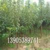 李子树价格、哪里有李子树、李子树批发价格
