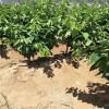 哪里有早大果樱桃树苗  早大果樱桃树苗基地