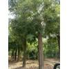 山东原生冠18公分国槐树价格出售18公分-30公分国槐树