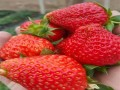 章姬草莓苗·