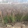 柏树常年供应 自产自销 量大从优 保质保量