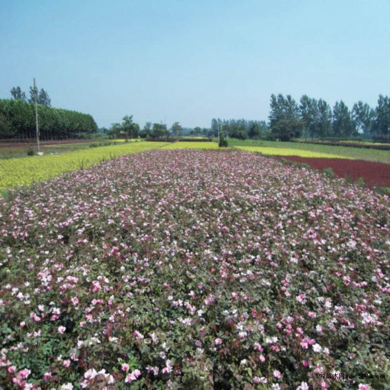 壁纸 成片种植 风景 花 植物 种植基地 桌面 800_800