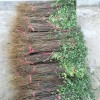 0.8公分九叶青花椒苗管理种植