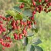 小椒花椒苗种植繁育基地 小椒花椒苗价格
