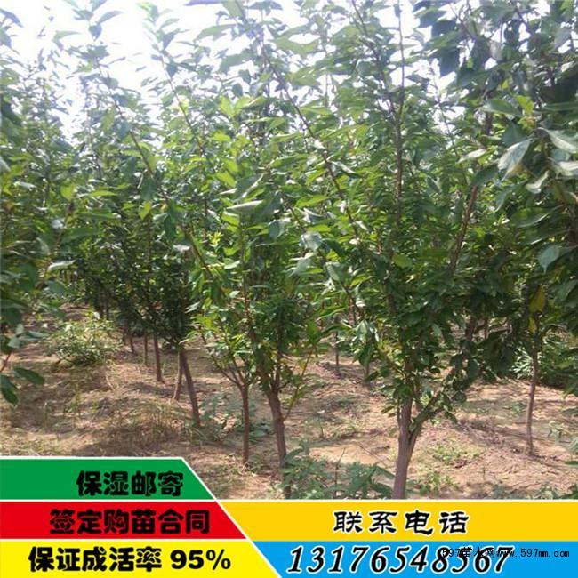 大扁杏树苗宜春批发供应 杏树苗价格