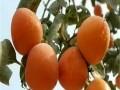 甜柿子苗品种