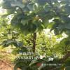 秋彤梨树苗哪里有 哪里有卖秋彤梨树苗 2公分梨树苗多少钱一棵