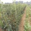 0.8公分山楂樹苗,0.8公分山楂樹苗價格