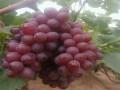 早熟品种葡萄苗