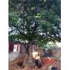 哪里有出售大规格皂角树的35公分皂角树多少钱