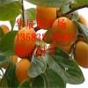 果树苗磨盘柿子树苗嫁接柿子苗盆栽地栽南北方种植当年结果