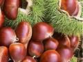 红油板栗苗