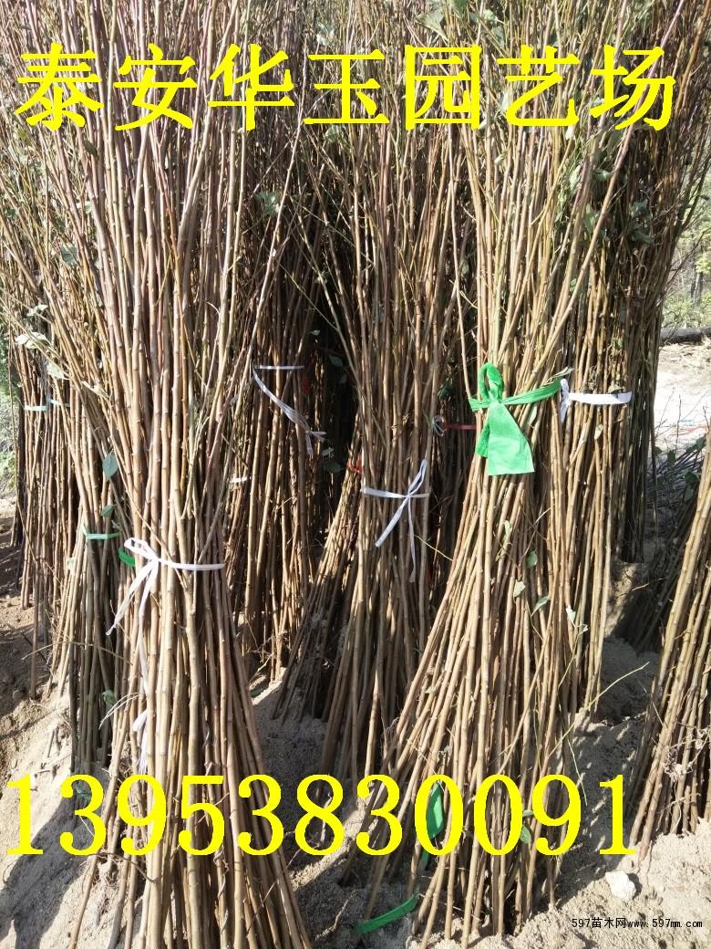 荷兰香杏树苗|新品种杏树苗基地|杏树苗批发