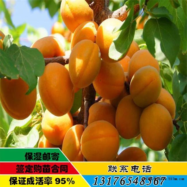 香蜜杏树苗渭南多少钱