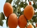 富有甜柿子苗品种