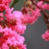 1.2米定杆百日红紫薇今年价格