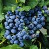 出售一公分蓝塔蓝莓苗报价