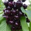 果树苗樱桃苗 吉塞拉大樱桃苗批发 2公分矮化樱桃苗价格