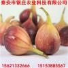 波姬红无花果树苗价格 紫果无花果树苗多少钱一棵
