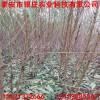 苗圃直銷映霜紅桃樹苗價格 1公分桃樹苗多少錢一棵