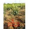 3公分梨树销售基地 3公分梨树价格、3公分梨树哪里有
