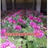 春节催花牡丹栽培基地、催花牡丹盆栽销售 菏泽多禾牡丹
