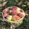 一年映霜红桃树苗多少钱=映霜红桃树苗价格=哪里有桃树小苗