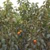 柿子树1----8公分 柿子树