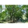现在10公分构树价格\15公分构树价格\18公分构树价格