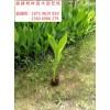 福建朱蕉苗市场批发价格 福建朱蕉苗产地在哪里