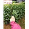 福建紫花芦莉苗产地在哪里 福建紫花芦莉苗市场批发价格