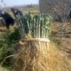 脱毒枳壳苗哪里有  无病虫害枳壳苗供应