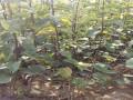 新梨7号梨树苗建园