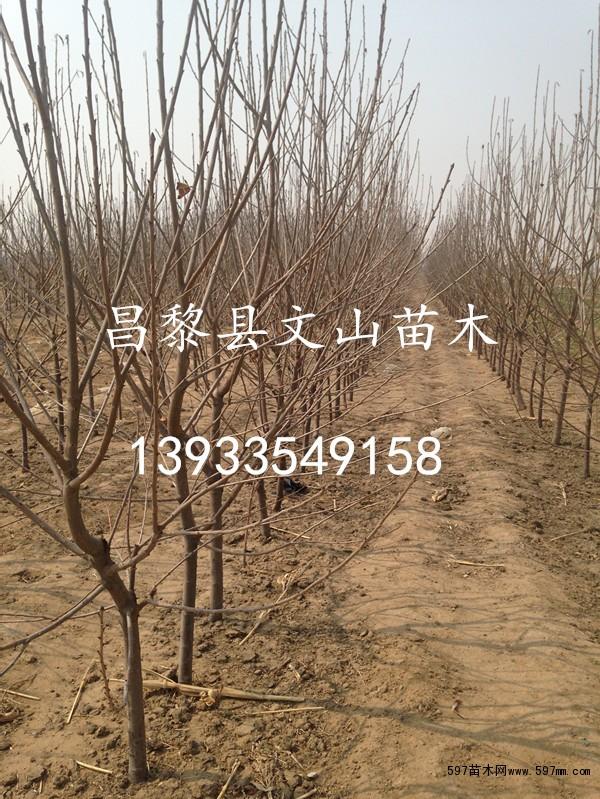 昌黎大樱桃树价格图片