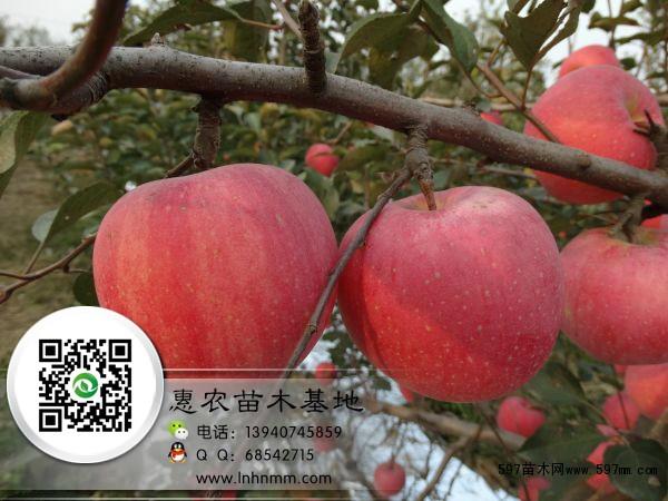 哪里有3公分寒富苹果树,辽宁三公分寒富苹果树苗价格