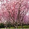 哪里有收购樱花花朵的