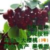 2公分樱桃树苗品种 福晨樱桃苗基地 批发樱桃苗
