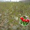 3公分樱桃苗价格 占地樱桃苗规格 批发品种樱桃苗