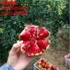 泰山红石榴苗哪里有 泰山红石榴苗多少钱一株