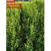 牡丹花石榴苗 1公分2公分3公分牡丹花石榴树苗价格