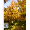 秋季金叶银杏树
